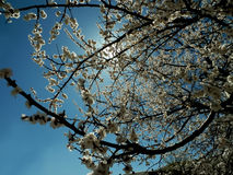 Blooming of cherry tree in spring Stock Image