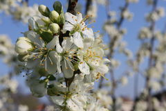 Blooming cherry tree. A cherry tree blooming in the spring Stock Photos