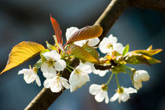 Blooming cherry tree in spring Stock Photo