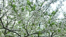 Blooming cherry tree in spring, many tender delicate white flowers on braches, gardens and parks at springtime.