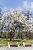 Blooming cherry tree in the spring park Royalty Free Stock Image
