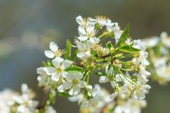 Blooming cherry tree in spring season Stock Images