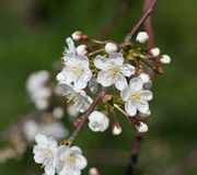 Blooming of cherry tree Royalty Free Stock Image