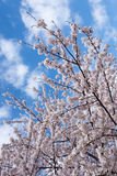 Blooming Cherry Tree in spring Royalty Free Stock Image