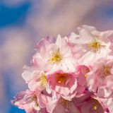 Nature wallpaper background with blossoming Sakura. Selective focus. Game of color. royalty free stock photo