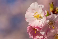 Blooming cherry tree in springtime. Spring pink flowers stock photos