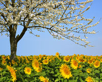 Blooming cherry tree in sunflower field Royalty Free Stock Photo