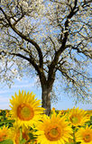 Blooming cherry tree in sunflower field. Royalty Free Stock Images
