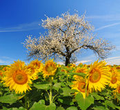 Blooming cherry tree in sunflower field. Royalty Free Stock Photography
