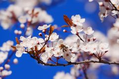 Blooming Cherry Tree. On sunny day Stock Photography