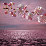 Blooming cherry tree and sunset ocean Royalty Free Stock Images
