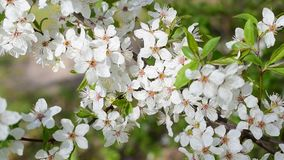 Blooming cherry tree twig. Beautiful white cherry tree flowers and green leaves blown by breeze in spring. Cerasus avium stock video footage