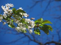 Blooming cherry tree twig Stock Photography