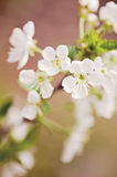 Blooming cherry tree Royalty Free Stock Images