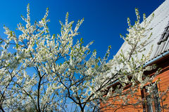 Blooming cherry tree. With white flowers and country house on the background Stock Photos