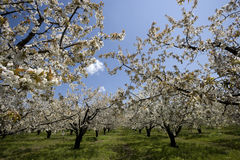 Blooming cherry trees Stock Images