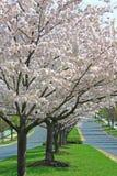 Cherry Trees Stock Photography