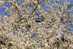 Blooming cherry trees. April sunny day Stock Images