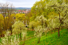 Blooming cherry trees in the garden Royalty Free Stock Images