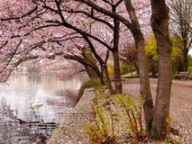 Blooming cherry trees at the inner Alster Lake on a calm morning with swan. Royalty Free Stock Image