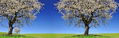Blooming cherry trees on meadow. stock image