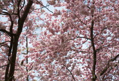 Blooming cherry trees. Cherry trees with pink blossoms Royalty Free Stock Photo