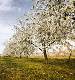Blooming cherry trees. In polish orchard Stock Image