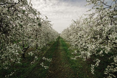 Blooming cherry trees. Polish orchard. Blooming cherry trees Royalty Free Stock Photo