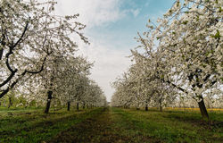 Blooming cherry trees. Polish orchard. Blooming cherry trees Stock Photos