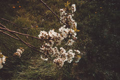 Blooming cherry trees. Cherry trees during blooming season, Poland Stock Images