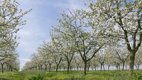 Blooming cherry trees in spring stock footage