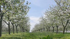 Blooming cherry trees in spring stock video
