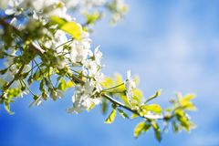 Blooming cherry trees on spring Stock Photo