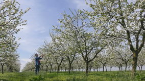Blooming cherry trees in spring and farmer stock video