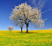 Blooming cherry trees. Spring landscape with blooming cherry trees Stock Photography
