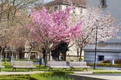 Blooming cherry trees in a spring park Royalty Free Stock Photos