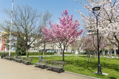Blooming cherry trees in a spring park Stock Images