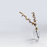 Blooming cherry twig. On a white background Stock Images