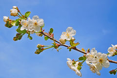 Blooming cherry twig close-up Stock Photos