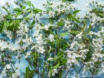 Blooming cherry twig over old wood. Royalty Free Stock Photo