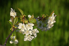Blooming cherry twig Royalty Free Stock Photos