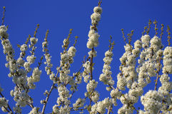 Blooming cherry twigs Stock Photos