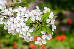 Blooming cherry white flowers branch Stock Image