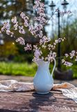 Blooming chery sprigs in the white vaze on blurry natural background in garden stock image