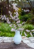 Blooming chery sprigs in the white vintage vaze on blurry natural background stock image