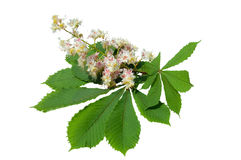 Blooming chestnut Royalty Free Stock Images
