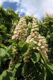 Blooming chestnut on blue sky. Moscow, Russia, 20 september, 2013 Royalty Free Stock Images