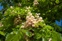 Blooming chestnut Stock Images