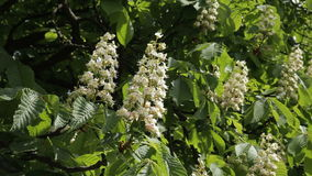 Blooming chestnut. Chestnut tree with blossoming spring flowers - Stock Video. Chestnut tree with blossoming spring flowers stock video