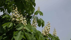 Blooming chestnut. Chestnut tree with blossoming spring flowers - Stock Video. Chestnut tree with blossoming spring flowers stock video footage